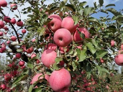 这是一张关于嘎啦苹果 膜袋 全红 75mm以下的产品图片