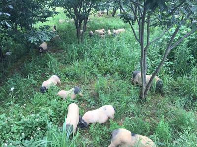 广西壮族自治区南宁市横县巴马香猪苗