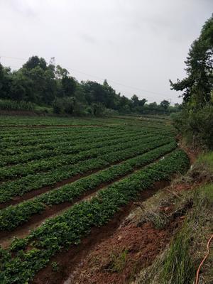 四川省成都市双流县红颜草莓苗 地栽苗 10~20公分