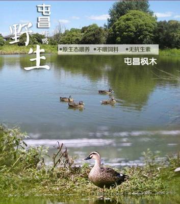 广东省广州市天河区绿头鸭 2-3斤