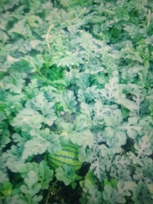 黑龙江省绥化市北林区庆红999 有籽 1茬 9成熟 10斤打底