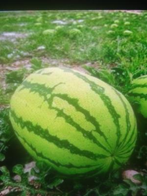 宁夏回族自治区中卫市沙坡头区硒砂瓜 有籽 1茬 8成熟 15斤打底