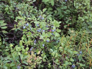 内蒙古自治区呼伦贝尔市牙克石市野生蓝莓 鲜果 4 - 6mm以上