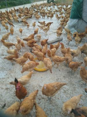 这是一张关于土鸡蛋 食用 箱装的产品图片