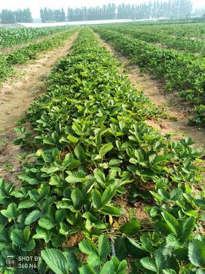山东省潍坊市安丘市甜查理草莓苗 地栽苗 10~20公分
