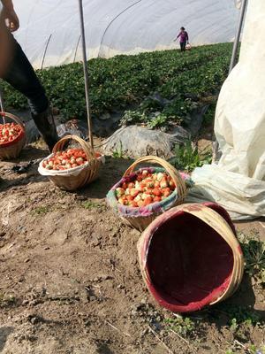 安徽省合肥市长丰县红颜草莓苗 地栽苗 10公分以下