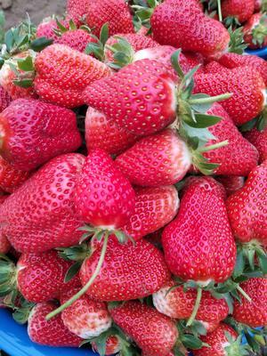 河南省郑州市中牟县四季草莓苗 地栽苗 20~30公分