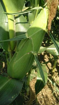 这是一张关于糯玉米 白粒 鲜货 的产品图片