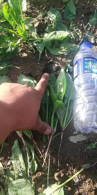 内蒙古自治区乌兰察布市兴和县大叶菠菜 15~20cm