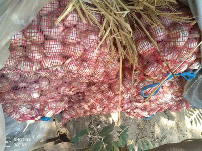 山东省菏泽市巨野县红皮大蒜 4.5cm 多瓣蒜