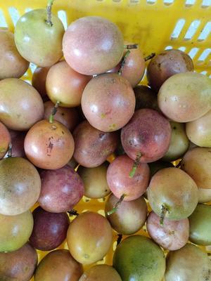 广西壮族自治区玉林市北流市紫香一号百香果 90 - 100克