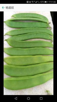 广西壮族自治区贺州市富川瑶族自治县蔓生刀豆 10-15cm