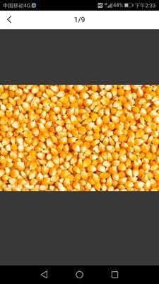 这是一张关于玉米干粮 霉变≤1% 净货的产品图片