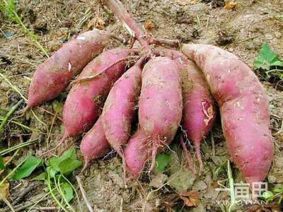 河南省周口市西华县商薯19号 红皮 3两以上