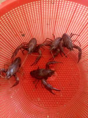 这是一张关于安徽小龙虾 人工殖养 5-7钱的产品图片