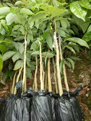这是一张关于妃子笑荔枝苗的产品图片