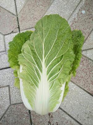 山西省晋中市和顺县韩国黄心白菜 3~6斤 净菜