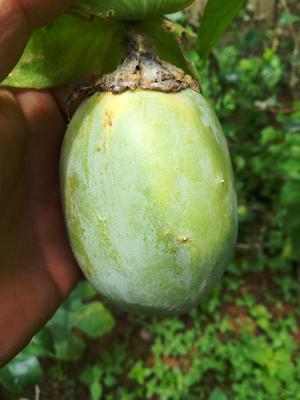 这是一张关于3号绿皮荔枝味百香果的产品图片
