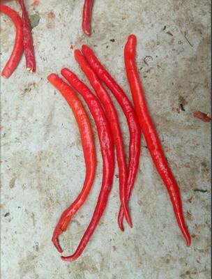 山西省忻州市忻府区线椒 15~20cm 红色 中辣