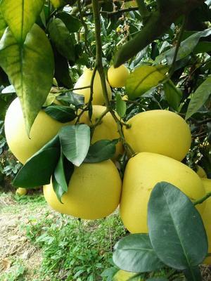 福建省漳州市平和县蜜柚苗