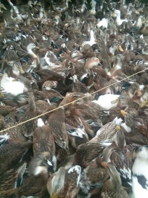 广西壮族自治区贵港市平南县青头麻鸭 统货 全散养 5-6斤