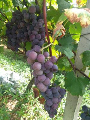 这是一张关于藤稔葡萄 10%以下 1次果 0.6-0.8斤的产品图片