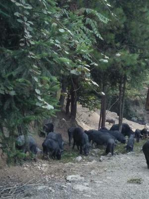 这是一张关于黑香猪 100斤以上的产品图片