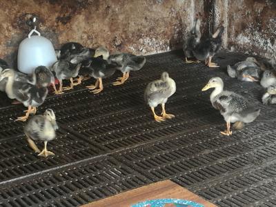 这是一张关于青头麻鸭 统货 全圈养 6-7斤的产品图片