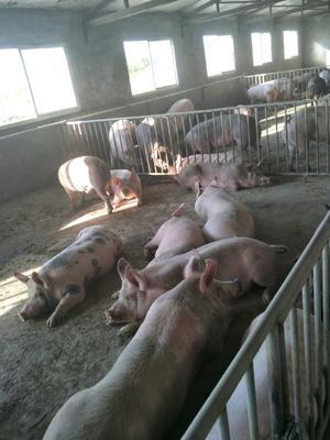 内蒙古自治区鄂尔多斯市伊金霍洛旗土猪肉 生肉