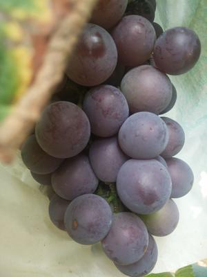河北省石家庄市鹿泉区藤稔葡萄 5%以下 1次果 2斤以上