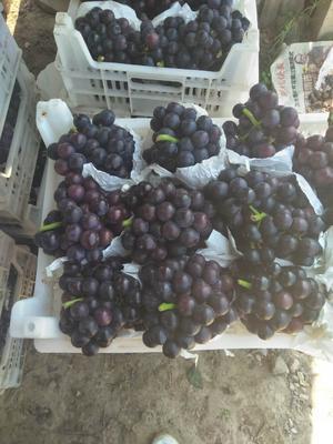 安徽省宿州市砀山县巨峰葡萄 5%以下 1次果 1.5- 2斤