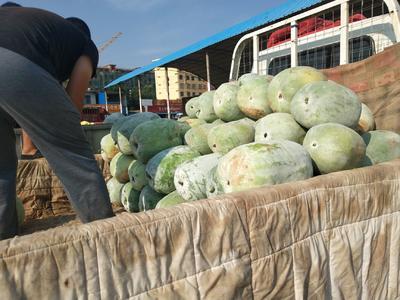 这是一张关于白皮冬瓜 8斤以上 白霜的产品图片