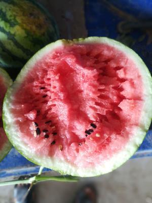 安徽省亳州市谯城区冠龙西瓜 有籽 1茬 9成熟 8斤打底
