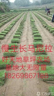 安徽省六安市寿县马尼拉草皮