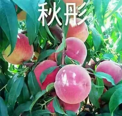 山东省泰安市岱岳区秋彤桃树苗 1~1.5米