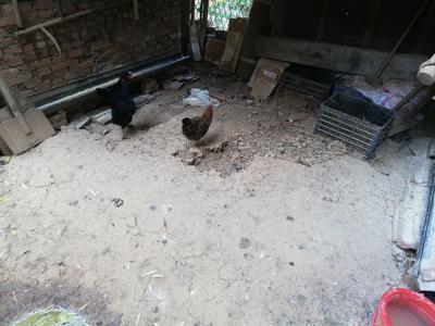 湖北省武汉市江夏区土鸡 母 3-4斤