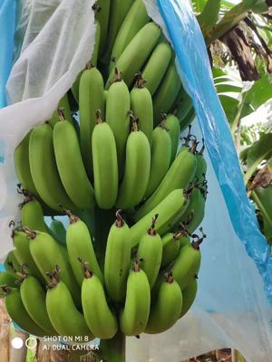 这是一张关于巴西香蕉 七成熟 40 - 50斤的产品图片