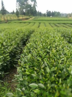 这是一张关于绿茶树苗 实生苗 0.5米以下的产品图片