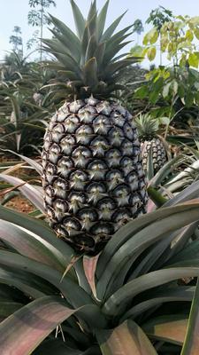 云南省西双版纳傣族自治州景洪市无眼菠萝 1 - 1.5斤