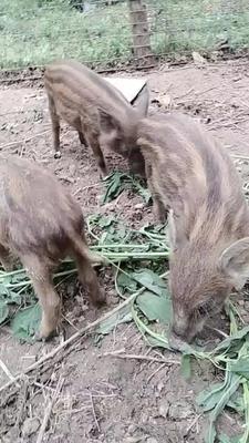 陕西省商洛市洛南县生态野猪 20-30斤 统货