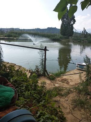陕西省汉中市城固县池塘鲤鱼 人工养殖 0.5-3公斤