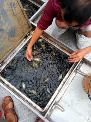重庆潼南县池塘鲤鱼 人工养殖 0.25-1公斤