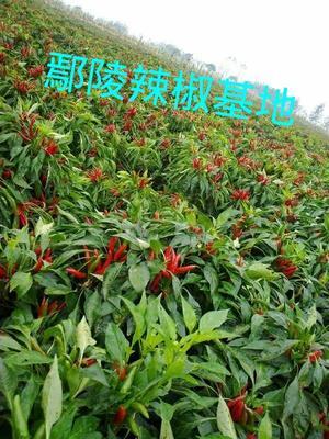 河南省许昌市鄢陵县艳红辣椒 5~10cm 红色 特辣
