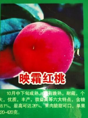 河南省焦作市武陟县映霜红桃苗 1~1.5米