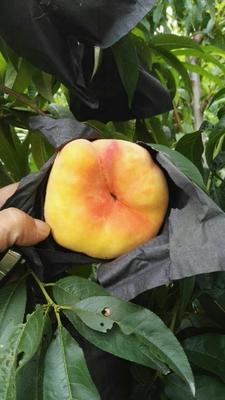 山东省泰安市岱岳区中蟠11号桃树苗 1~1.5米
