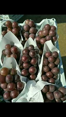 河北省衡水市饶阳县乒乓球葡萄 5%以下 1次果 0.8-1斤