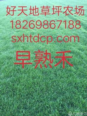 安徽省六安市寿县早熟禾草坪