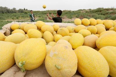 这是一张关于鄯善哈密瓜 3斤以上的产品图片