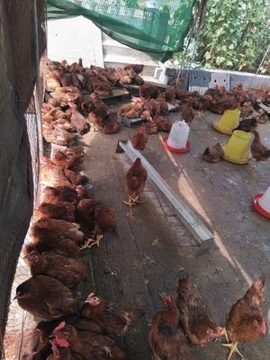内蒙古自治区呼和浩特市土默特左旗笨鸡 统货 4-5斤