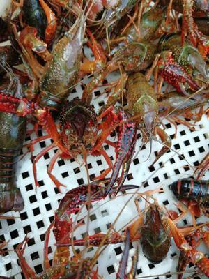 这是一张关于红壳小龙虾 人工殖养 7-9钱的产品图片